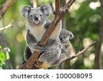 Australian Koala Bear With Her...
