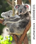Stock photo australian koala bear with her baby or joey in eucalyptus or gum tree sydney nsw australia 100008101