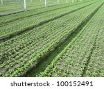 Small photo of Malcolmia plants in bloom beds in a glass house