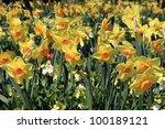 daffodils | Shutterstock . vector #100189121