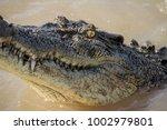saltwater crocodile head in... | Shutterstock . vector #1002979801