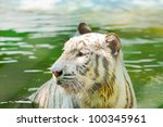 white tiger  in the pond ... | Shutterstock . vector #100345961