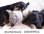 Stock photo british kitten rare color lilac and puppies dachshund 100459921