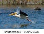 pelican  pelecanus onocrotalus  ...   Shutterstock . vector #100479631