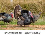 Thanksgiving Turkey Tom...