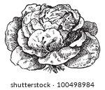 Lettuce  Lactuca Sativa  ...
