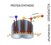 protein synthesis. ribosome...   Shutterstock .eps vector #1005606724