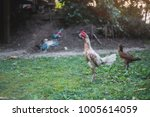 fighting cock on green grass ... | Shutterstock . vector #1005614059