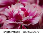 fluffy pink tulip close up in... | Shutterstock . vector #1005639079