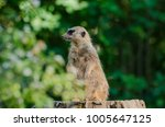 Meerkat Nature Shot
