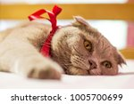 scottish fold cat with a red... | Shutterstock . vector #1005700699