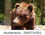 brown bear portrait in forest | Shutterstock . vector #1005714331