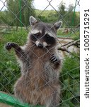 Small photo of Cute racoon holding on a fence