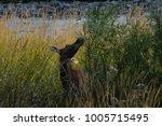 Cow Elk Feeding On Leaves...