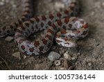 A Young Prairie Kingsnake From...