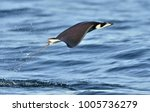 mobula ray jumping out of the... | Shutterstock . vector #1005736279