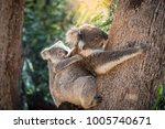 koala baby on mother's back | Shutterstock . vector #1005740671