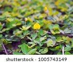 beautiful pinto peanut flower... | Shutterstock . vector #1005743149