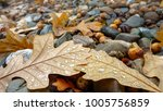 Oak Leaves And Acorns In Autum...