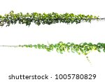 green leaf  ivy plant with wire ... | Shutterstock . vector #1005780829