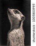 Meerkat Model Pose