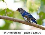 violet cuckoo juvenile   Shutterstock . vector #1005812509