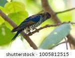 violet cuckoo juvenile   Shutterstock . vector #1005812515