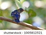 violet cuckoo juvenile   Shutterstock . vector #1005812521