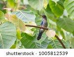 violet cuckoo juvenile   Shutterstock . vector #1005812539