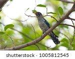 violet cuckoo juvenile   Shutterstock . vector #1005812545