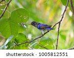violet cuckoo juvenile   Shutterstock . vector #1005812551