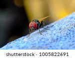 blow fly  fruit fly  carrion... | Shutterstock . vector #1005822691