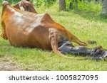 the cows are birth and the sun... | Shutterstock . vector #1005827095