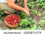 senior farmer on strawberry... | Shutterstock . vector #1005871579