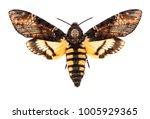 female death's head hawk moth ... | Shutterstock . vector #1005929365