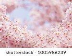 pink sakura flower bloom in... | Shutterstock . vector #1005986239