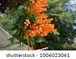pyrostegia venusta cape honey... | Shutterstock . vector #1006023061