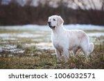 golden retriever dog standing... | Shutterstock . vector #1006032571