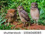 mother owl and her cubs | Shutterstock . vector #1006068085