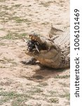 Small photo of An african crocodile (crocodylus succhus) eating a chicken, Bazoulé, Burkina Faso.