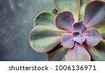 Succulent Echeveria Perle Von ...