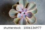 Succulent Echeveria Perle Von N ...