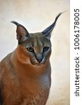 Small photo of Close up portrait of one caracal, small African wild cat known for black tufted long ears, looking at camera, low angle view