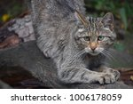 Small photo of Close up portrait of one European wildcat (Felis silvestris) sharpen claws and looking at camera alerted, low angle view