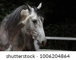 andalusian horse portrait  | Shutterstock . vector #1006204864