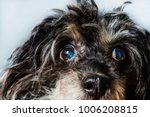 Small photo of Close-up on the eyes of a dog, cataracts in a dog. Black dog, Chinese Crested cataract. Foggy eyes in the dog, glaucoma, eye diseases, blindness, amblyopia, blindness.