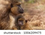 Olive Baboon Mother With Baby ...