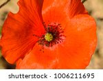 Small photo of Study of a single Cyprus poppy found in southern Cyprus at Kourion, the relics of the ancient town of Curium, close-by to modern Episkopi