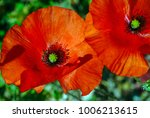 Small photo of Study of a pair of Cyprus poppies found in southern Cyprus at Kourion, the relics of the ancient town of Curium, close-by to modern Episkopi