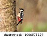 The Great Spotted Woodpecker Is ...